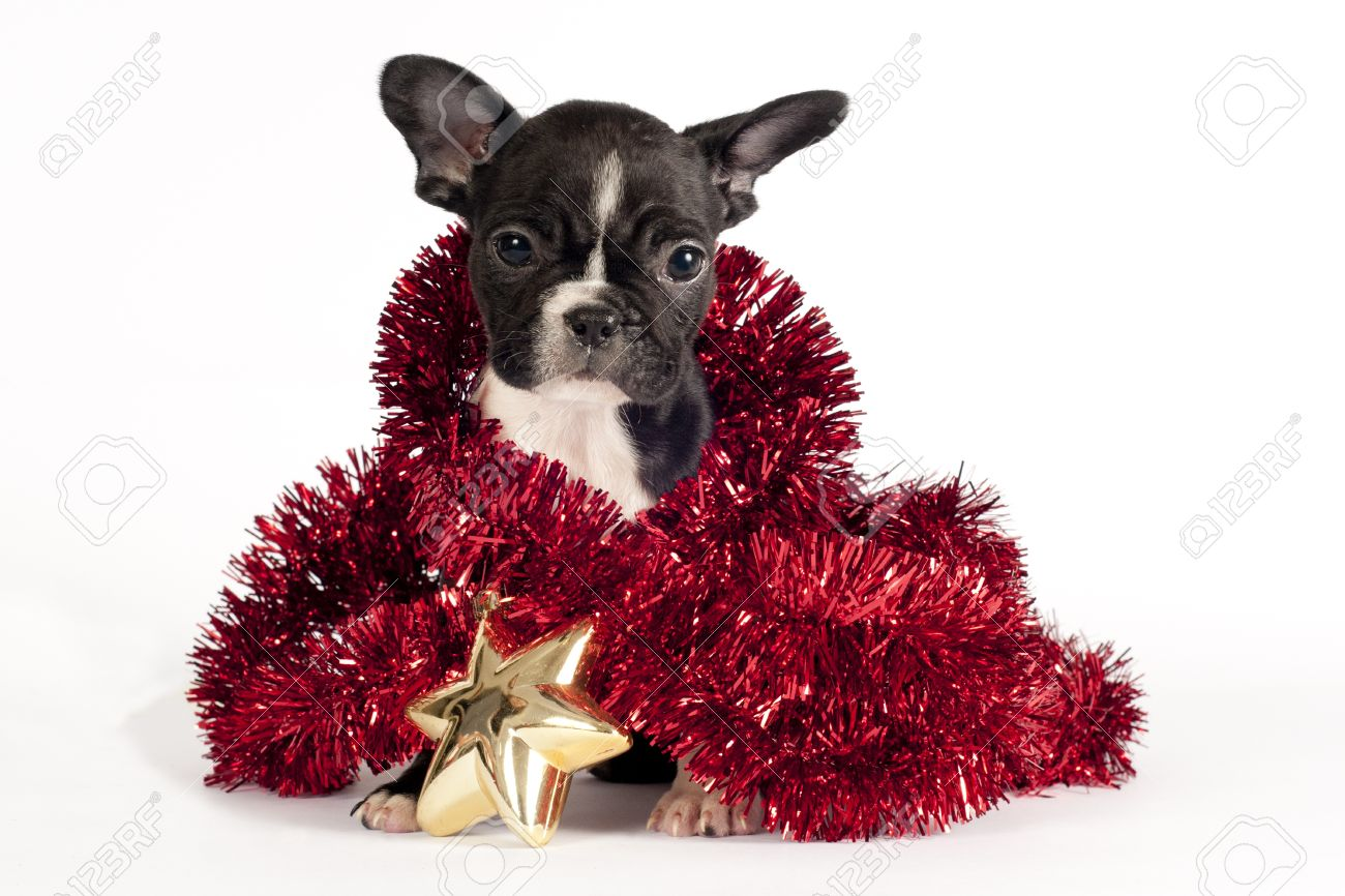 Cute French Bulldog Puppy With Christmas Ornament On White ...