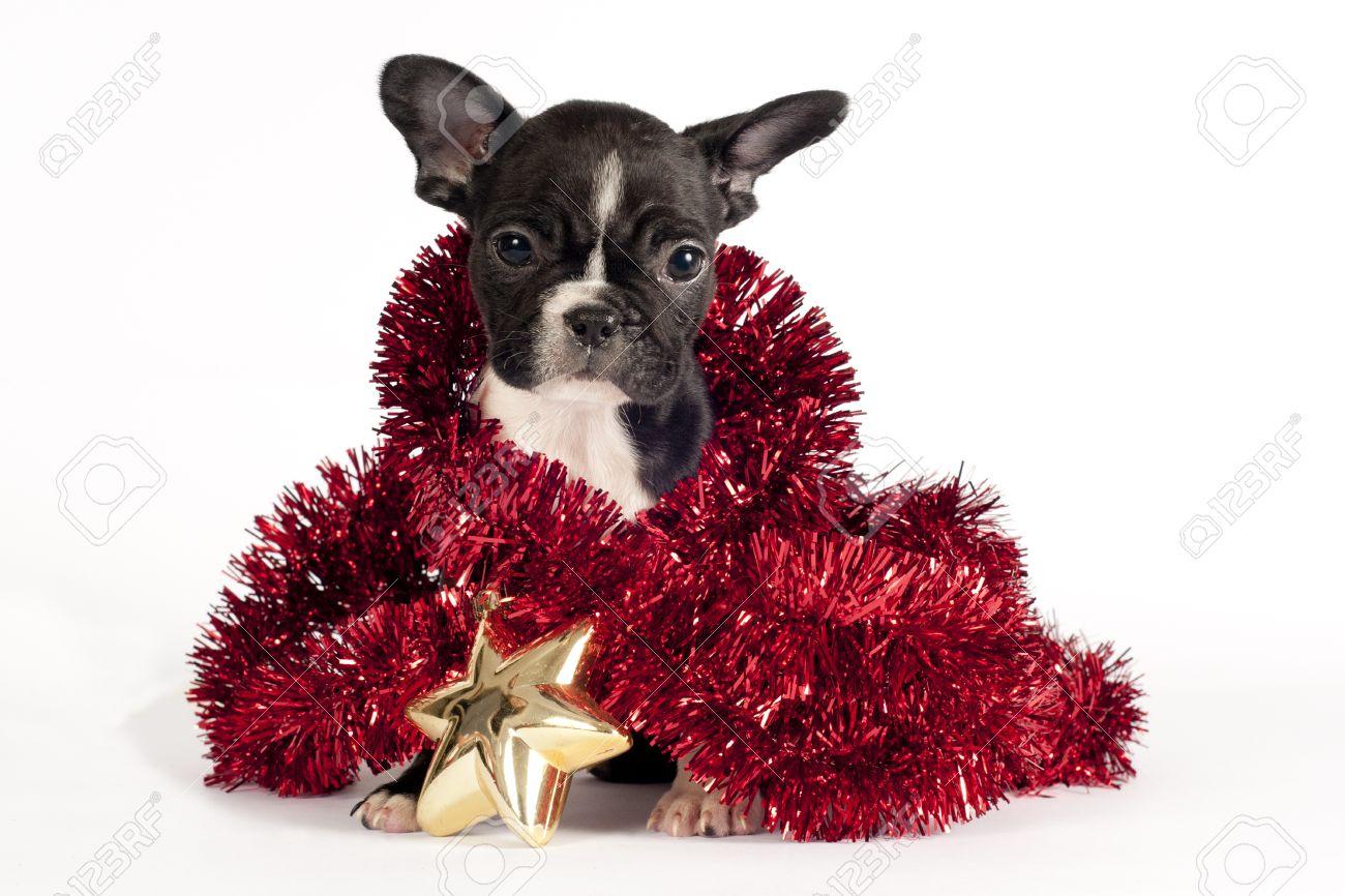 French Bulldog Christmas Ornament.Cute French Bulldog Puppy With Christmas Ornament On White Background