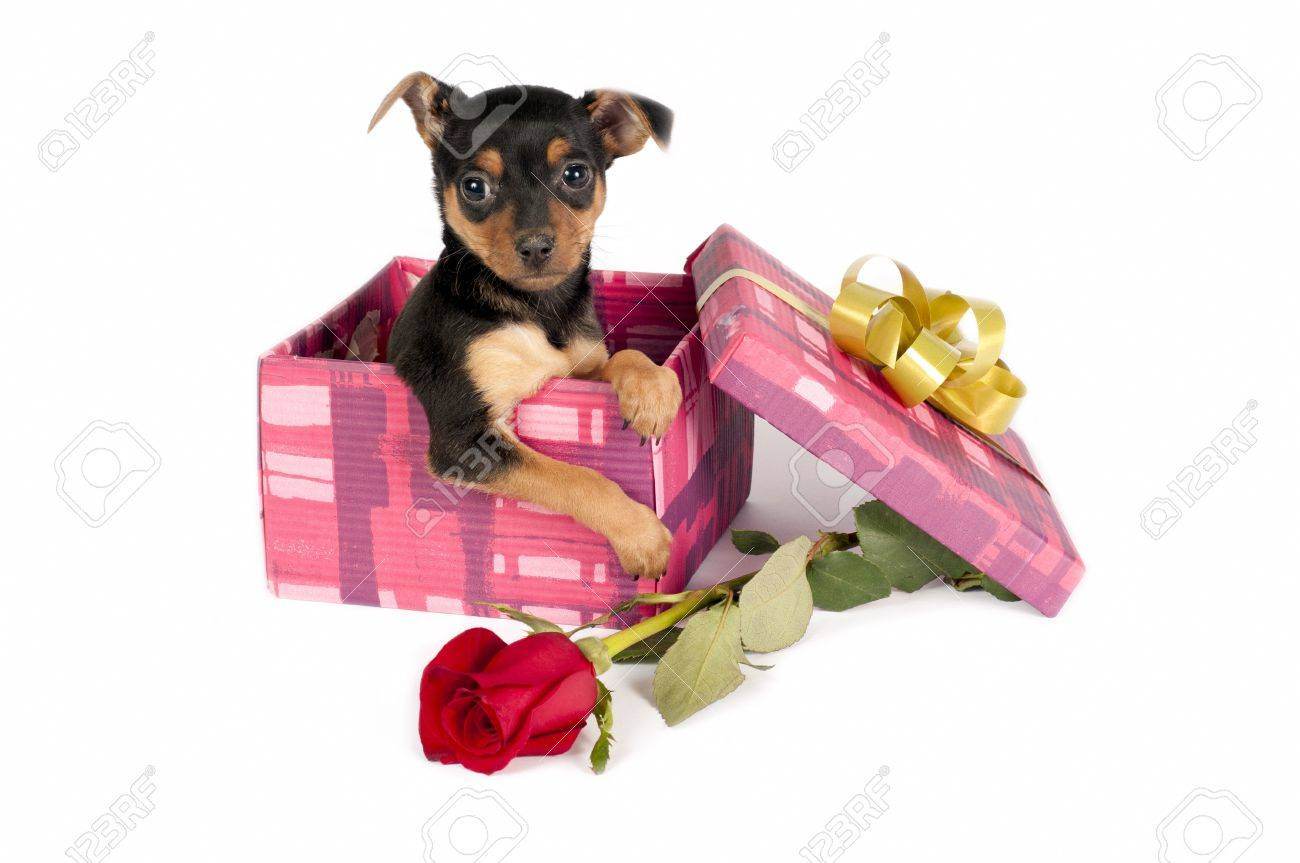 cute pincher puppy in a christmas gift box stock photo picture