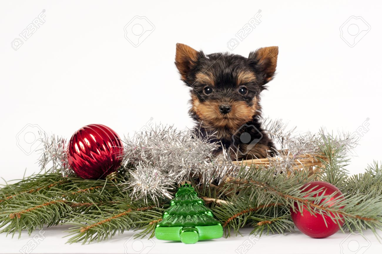 Cute Yorkshire Terrier Puppy With Christmas Ornament On A White