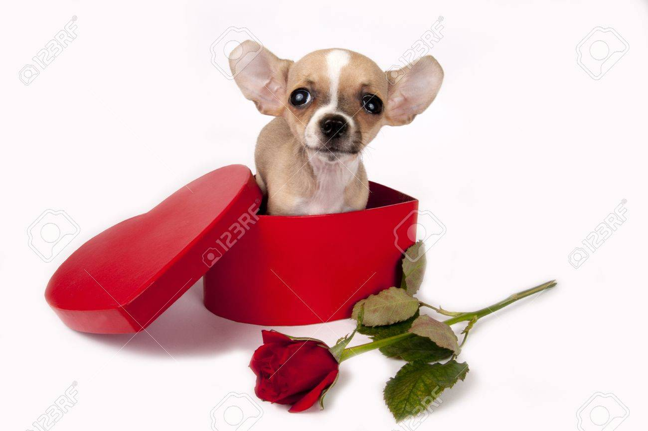[10446592-Cute-chihuahua-puppy-in-a-gift-box-with-red-rose--Stock-Photo-valentine-dog-puppy]