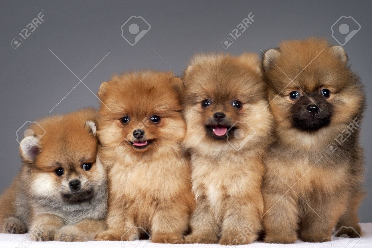 Four puppies of the purebred pomeranian dog stock photo picture and four puppies of the purebred pomeranian dog stock photo 10446603 thecheapjerseys Image collections