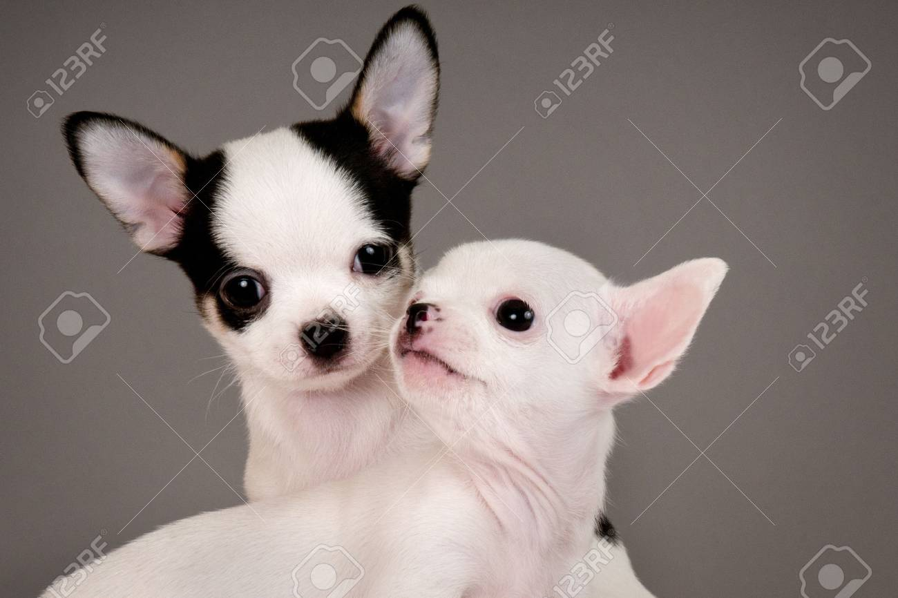 Two Chihuahua Puppies 2 Months Old Stock Photo Picture And