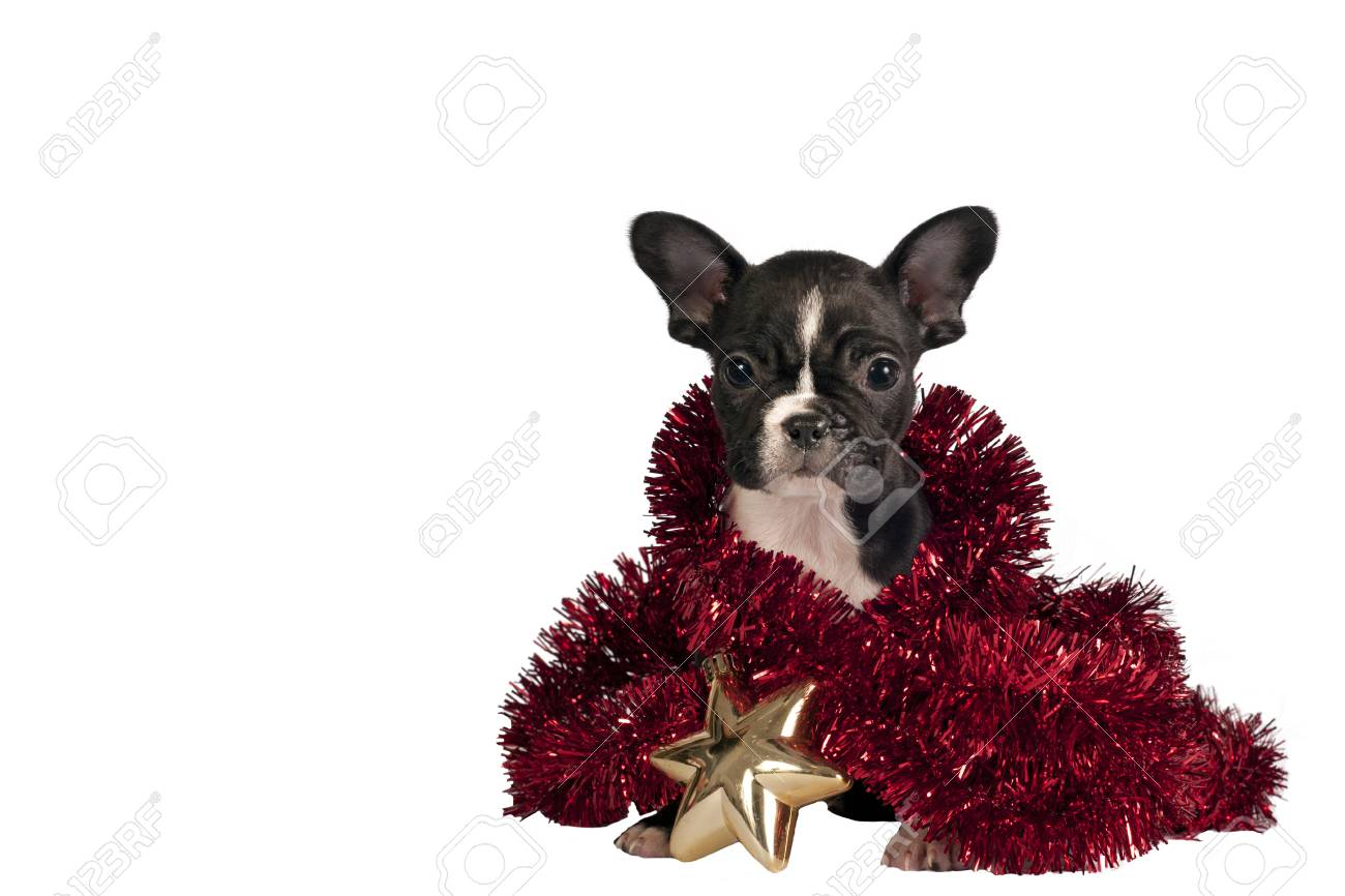 French Bulldog Christmas Ornament.Cute French Bulldog Puppy With Christmas Ornament Isolated On