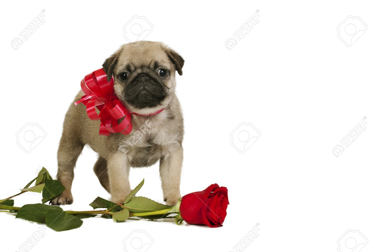Best Pug Bow Adorable Dog - 25262554-cute-little-pug-puppy-with-red-bow-and-rose-isolated-on-white-background  Snapshot_59730  .jpg