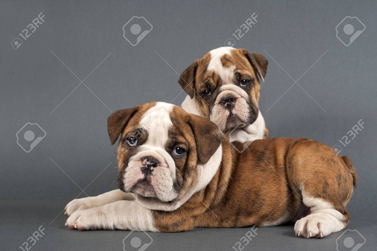Two English Bulldog Puppies On Gray Background Stock Photo Picture And Royalty Free Image Image 39575219