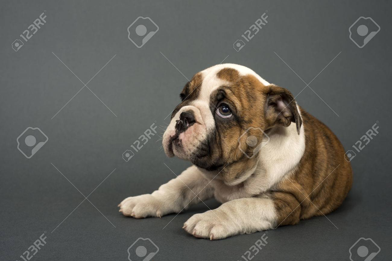 English Bulldog Puppy 3 Months Old Lying On Gray Background Stock Photo Picture And Royalty Free Image Image 40636697