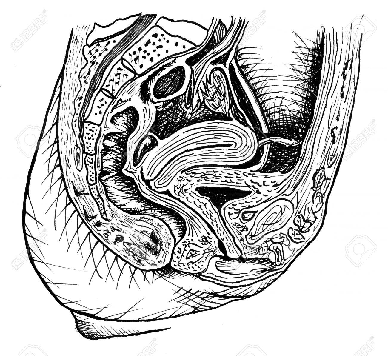 female anatomical section drawing Stock Photo - 11486513