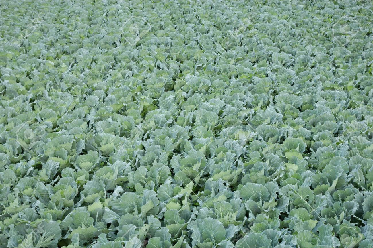 Vegetable field Stock Photo - 17931624