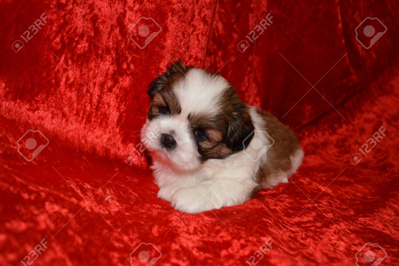Portrait Of A Perfect Imperial Shih Tzu Puppy On Red Background Stock Photo Picture And Royalty Free Image Image 48616593