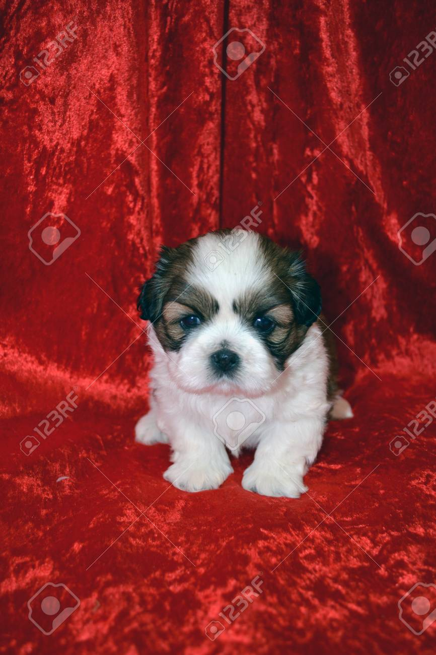 Shih Tzu Puppy Sitting On Red Cloth Stock Photo Picture And Royalty Free Image Image 51255345