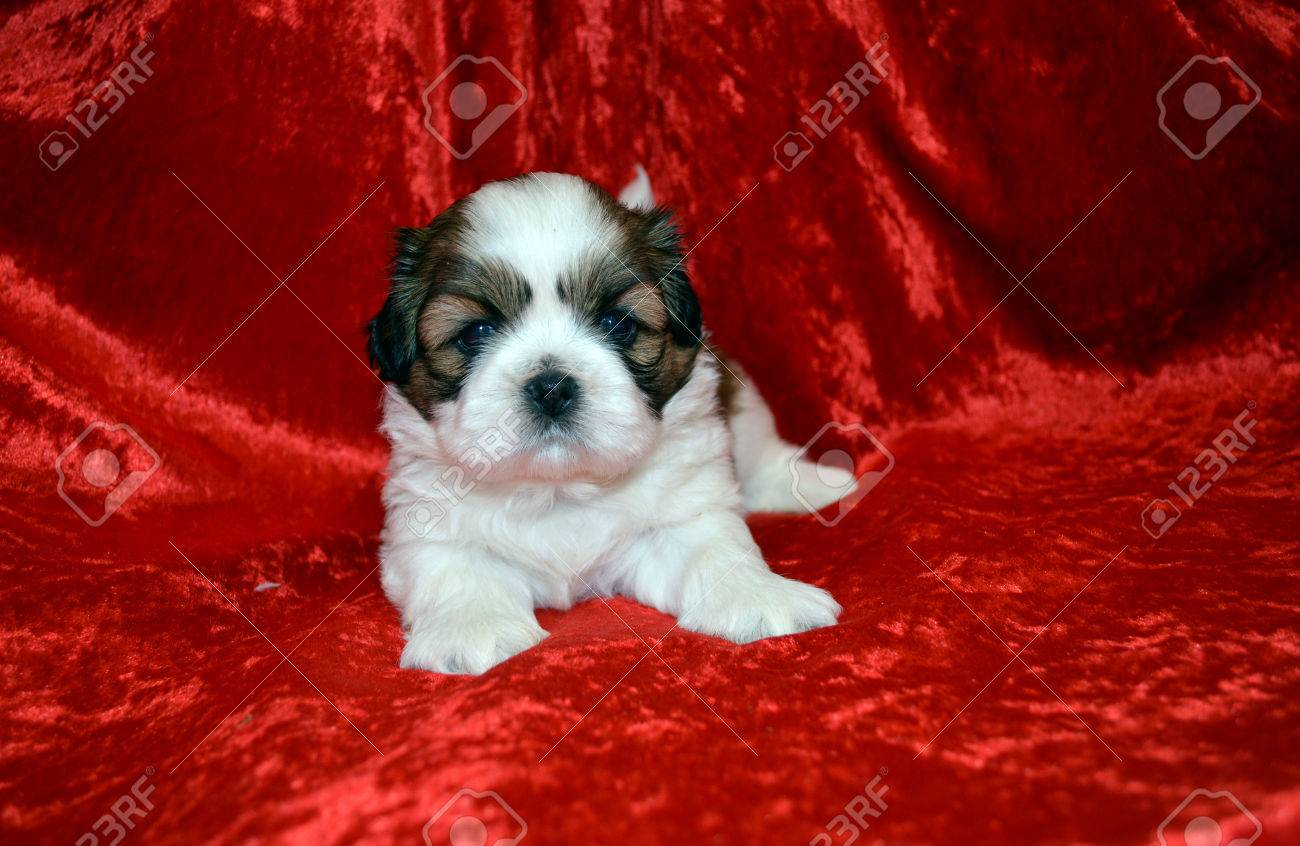Shih Tzu Puppy On Red Velvet Cloth Stock Photo Picture And Royalty Free Image Image 51255348