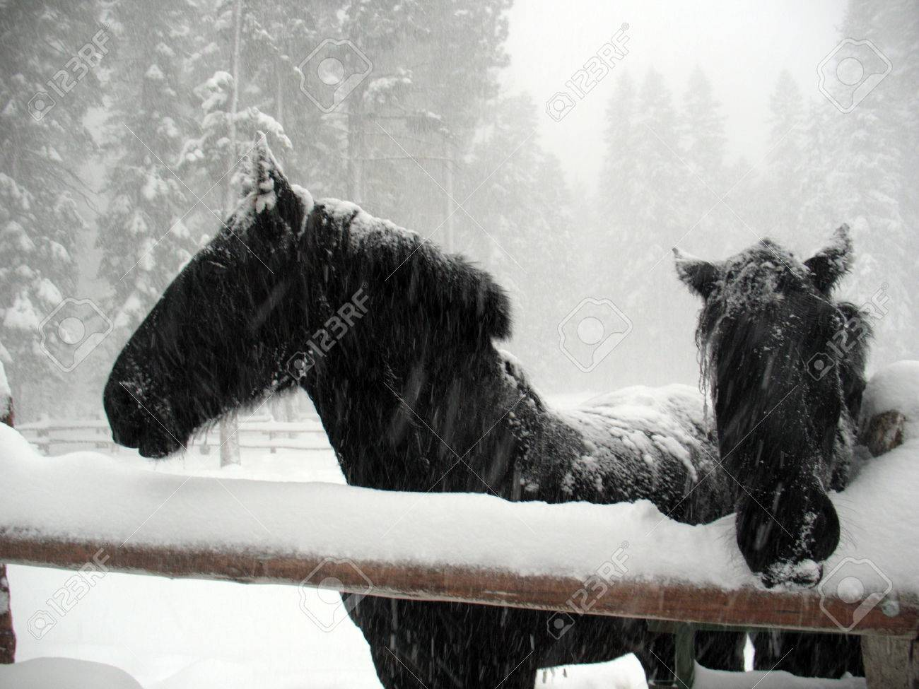 Two Black Horses Standing In Snow Stock Photo Picture And Royalty Free Image Image 63626837