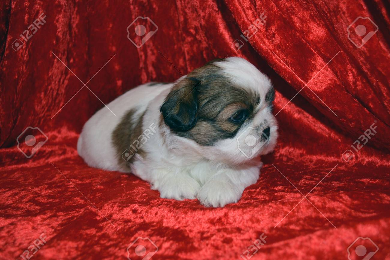 Shih Tzu Puppy Looking Away Laying On Red Blanket Stock Photo Picture And Royalty Free Image Image 64153620