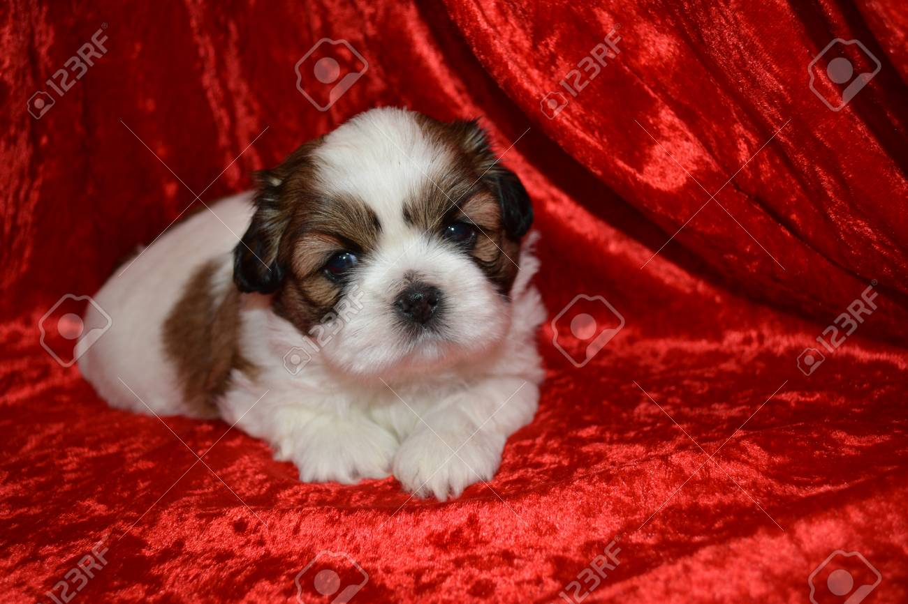 Shih Tzu Puppy Laying On Red Velvet Sheet Stock Photo Picture And Royalty Free Image Image 64153602