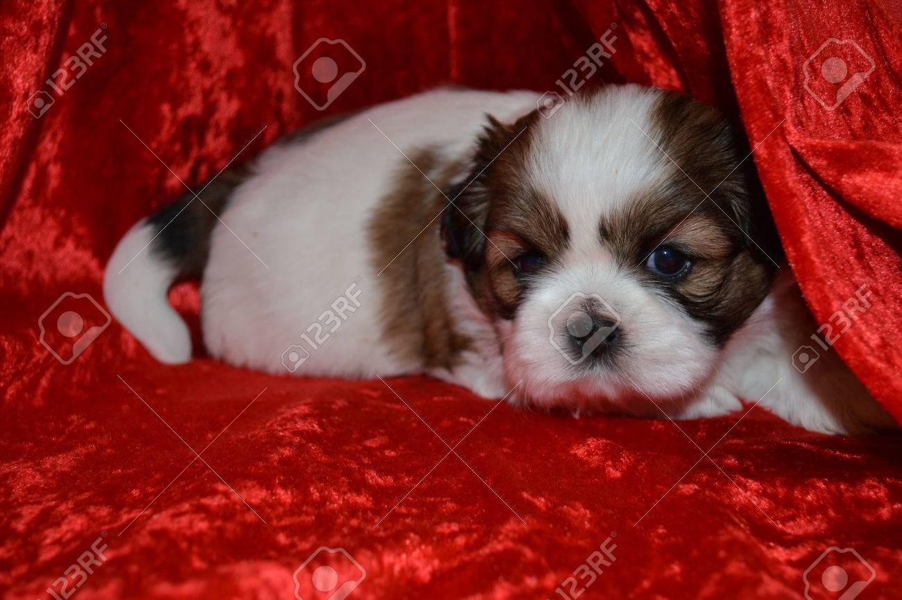 Purebred Shih Tzu Puppy Laying On Red Background Stock Photo Picture And Royalty Free Image Image 64153635