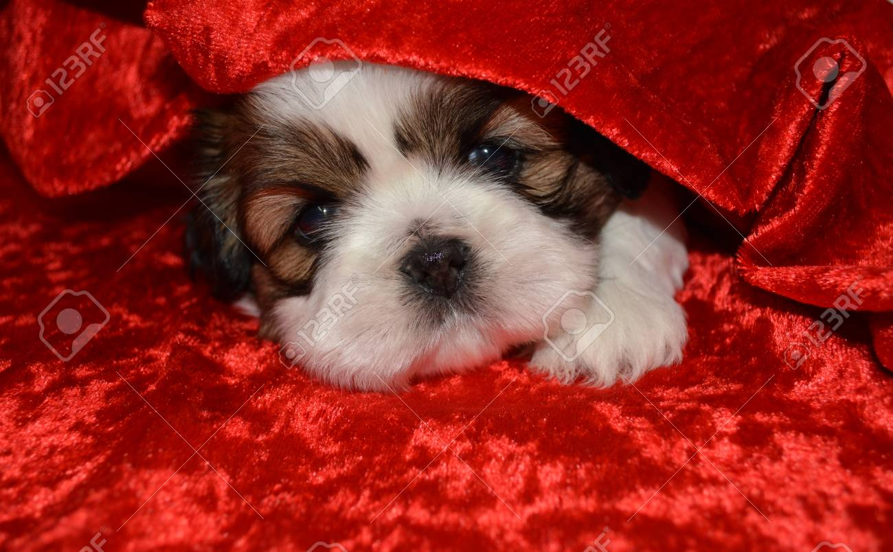Shih Tzu Puppy Peeking Out From Under A Red Curtain Stock Photo Picture And Royalty Free Image Image 64153673