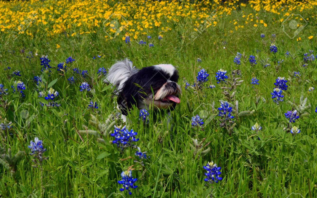 Black And White Shih Tzu Deep In Texas Bluebonnet Flowers Stock