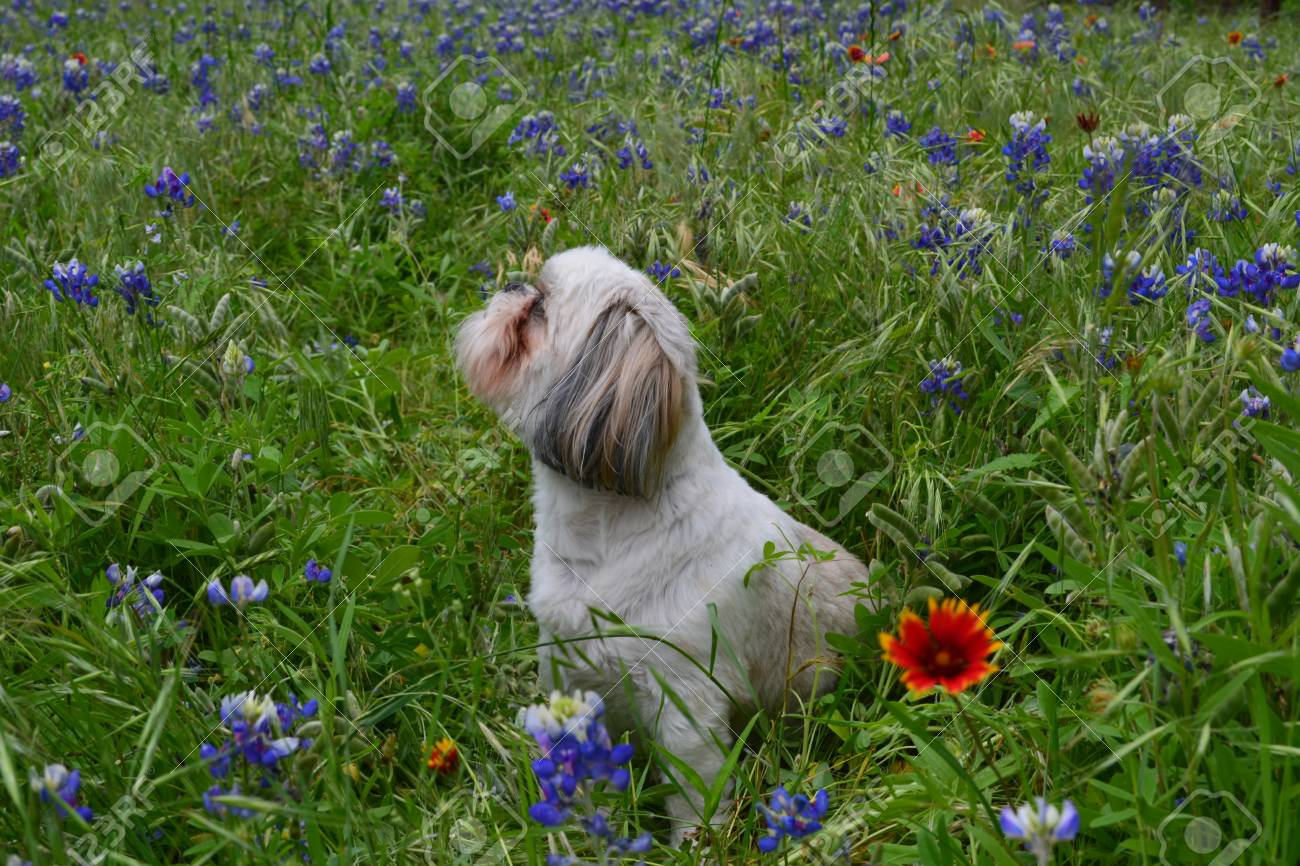 Side View Of Shih Tzu Sitting In Texas Bluebonnets Stock Photo