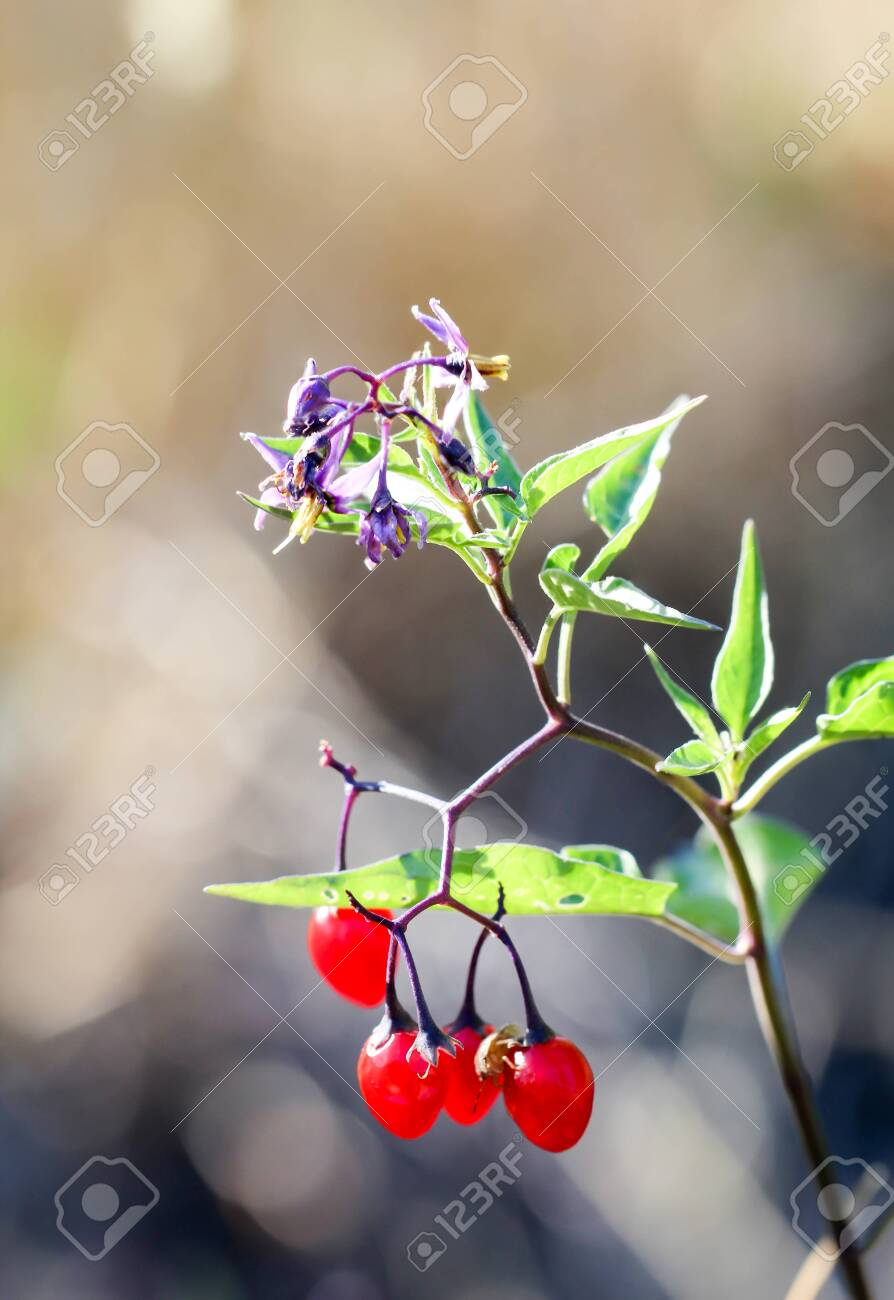 A plant with purple flowers and red berries - 142204260