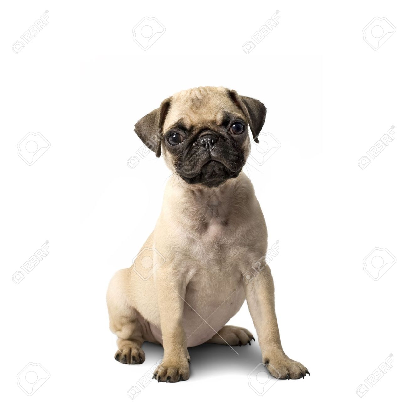 Cute Pug Puppy Isolated On White Background Stock Photo Picture And Royalty Free Image Image 8573982