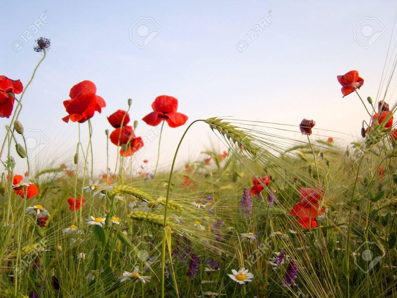 Wheat ears and wild poppy flowers in wheat field. Stock Photo - 3296872