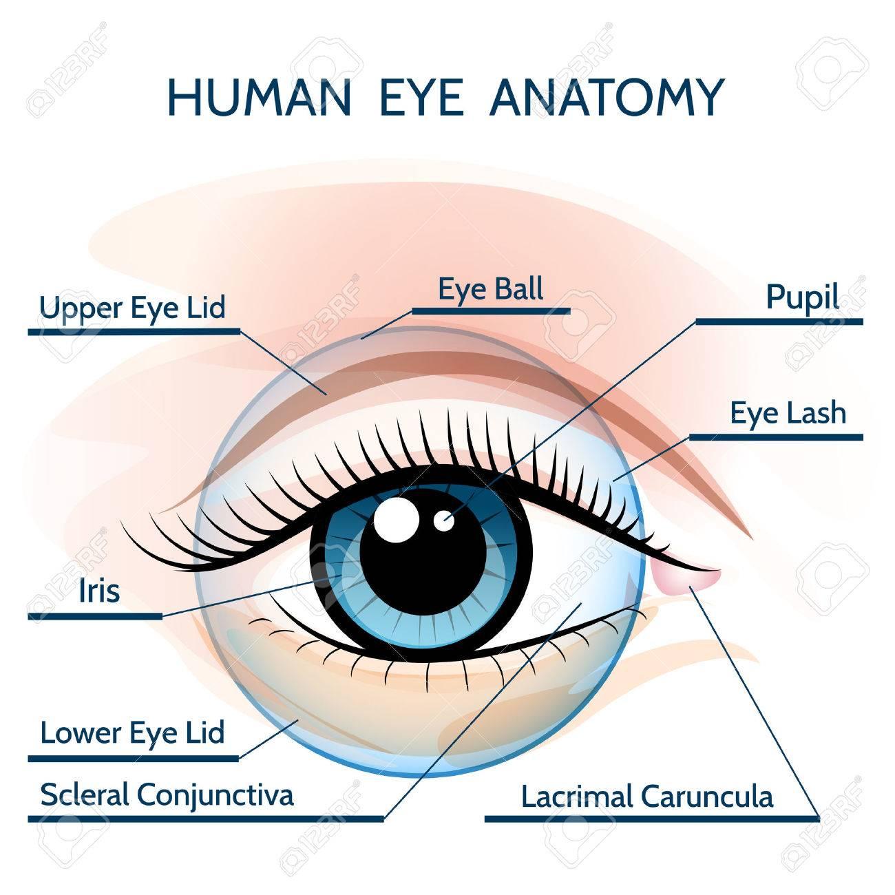 Ilustración De La Anatomía Del Ojo Humano. Sólo Fuente Libre Uso ...