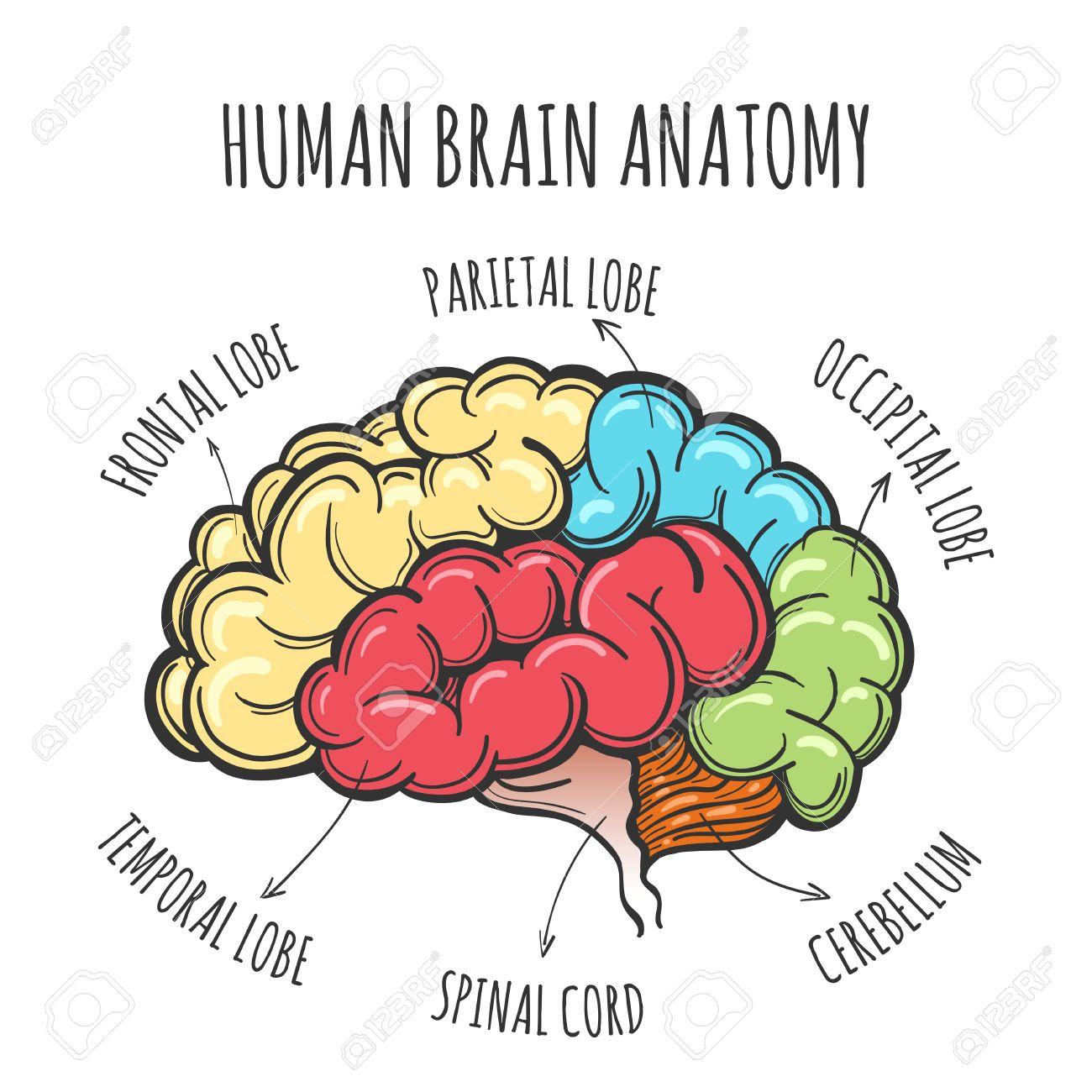 Principales Partes Del Cerebro Humano. Cerebro Humano En El Estilo ...