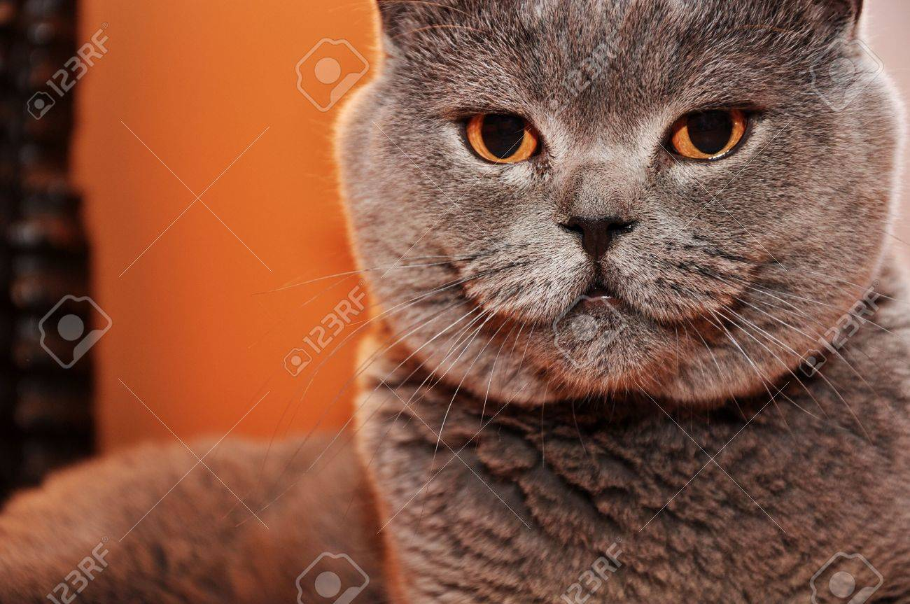 British Short Hair Cat Posing For Picture Stock Picture And