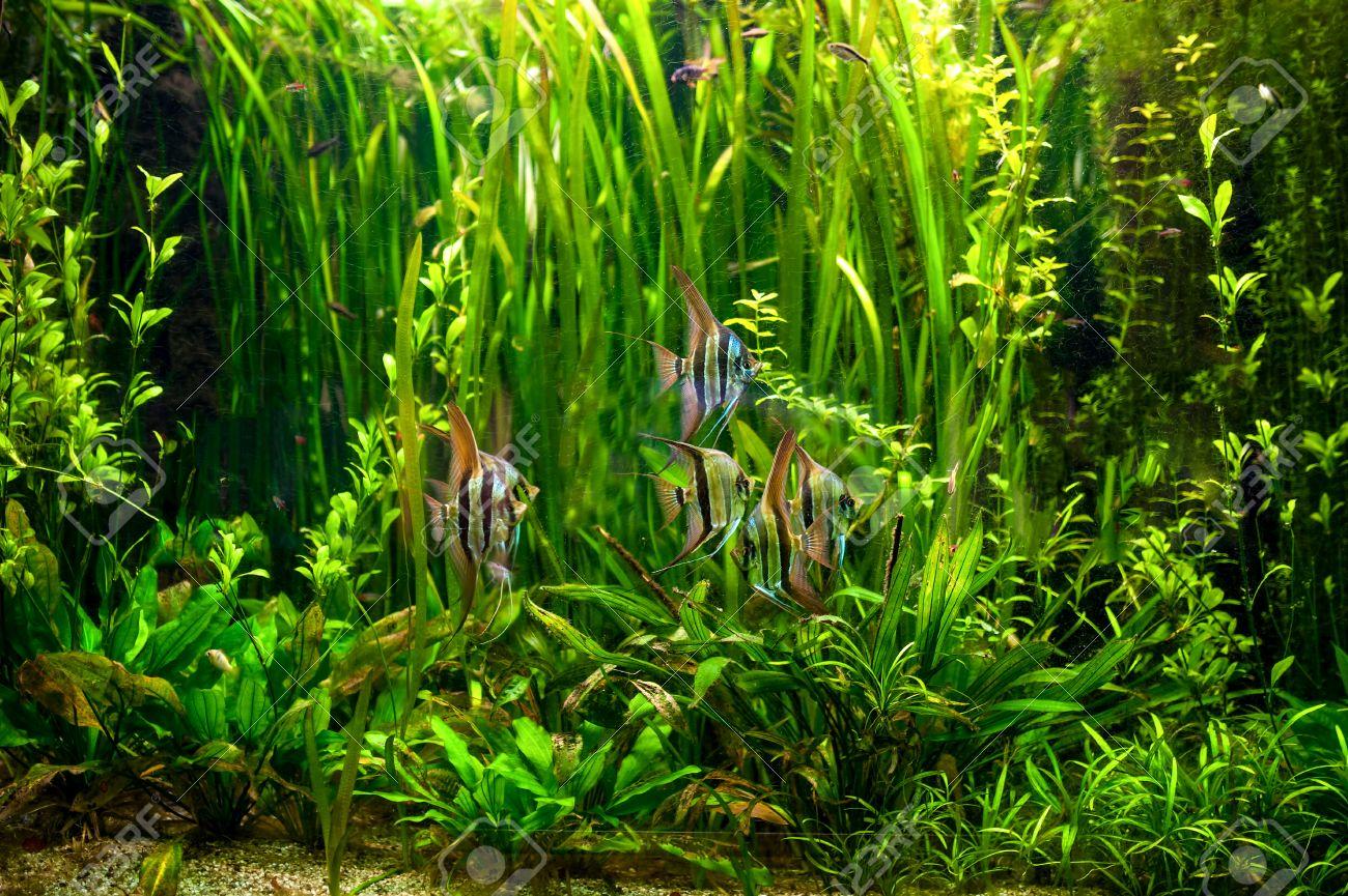 Undewater Green Alga, Aquatic Plants And Fishes Tropical ...