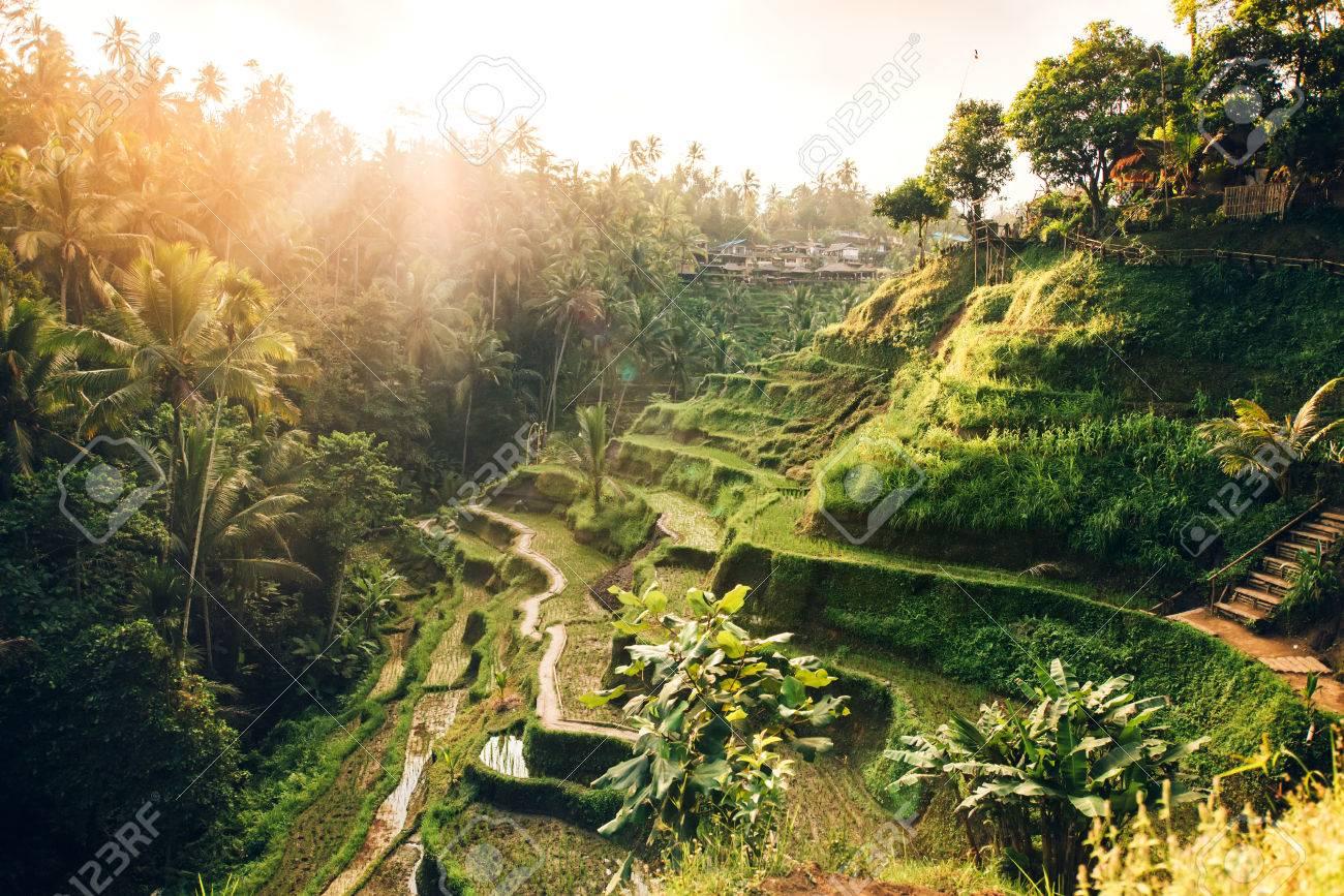 Bellissimo Paesaggio Con Terrazze Di Riso Nella Famosa Zona Turistica Di Tagalalang Bali Indonesia Le Risaie Verdi Preparano Il Raccolto