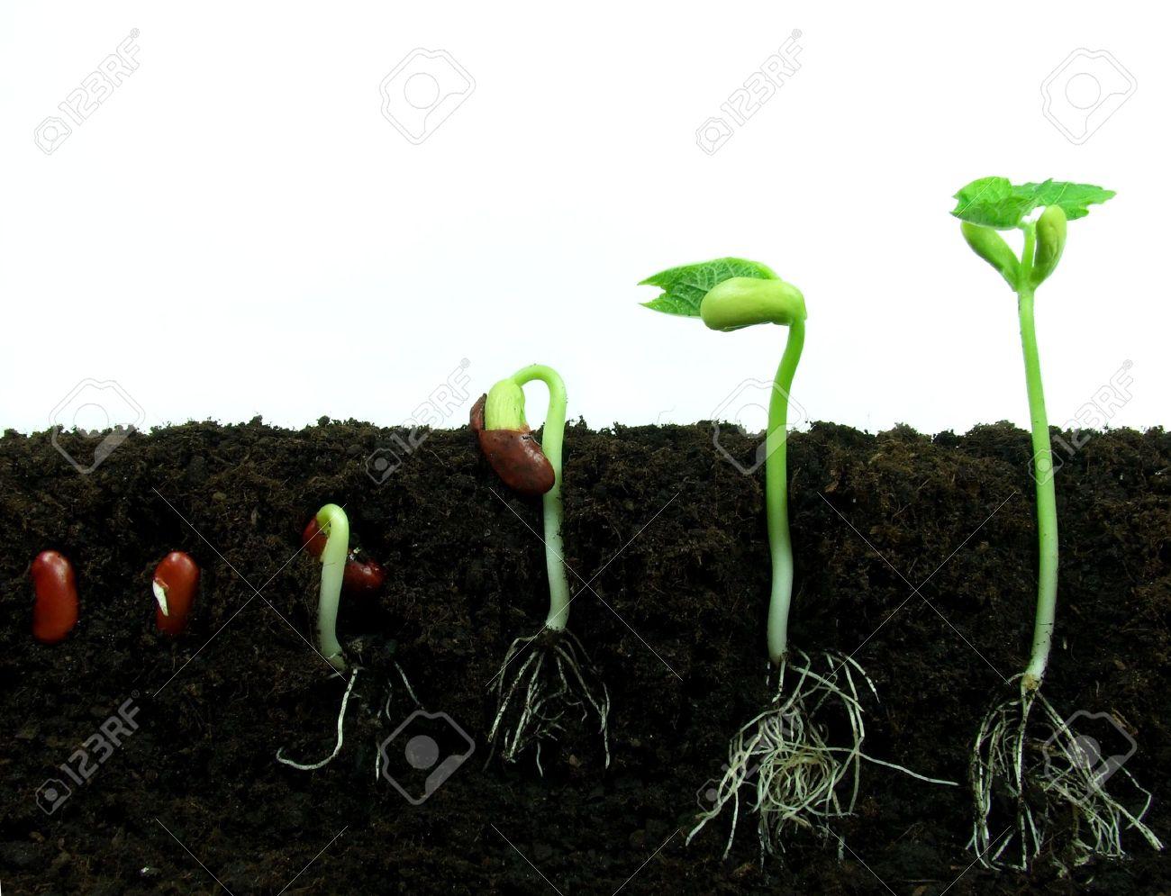 Bean seeds germinating in soil Stock Photo - 15023222