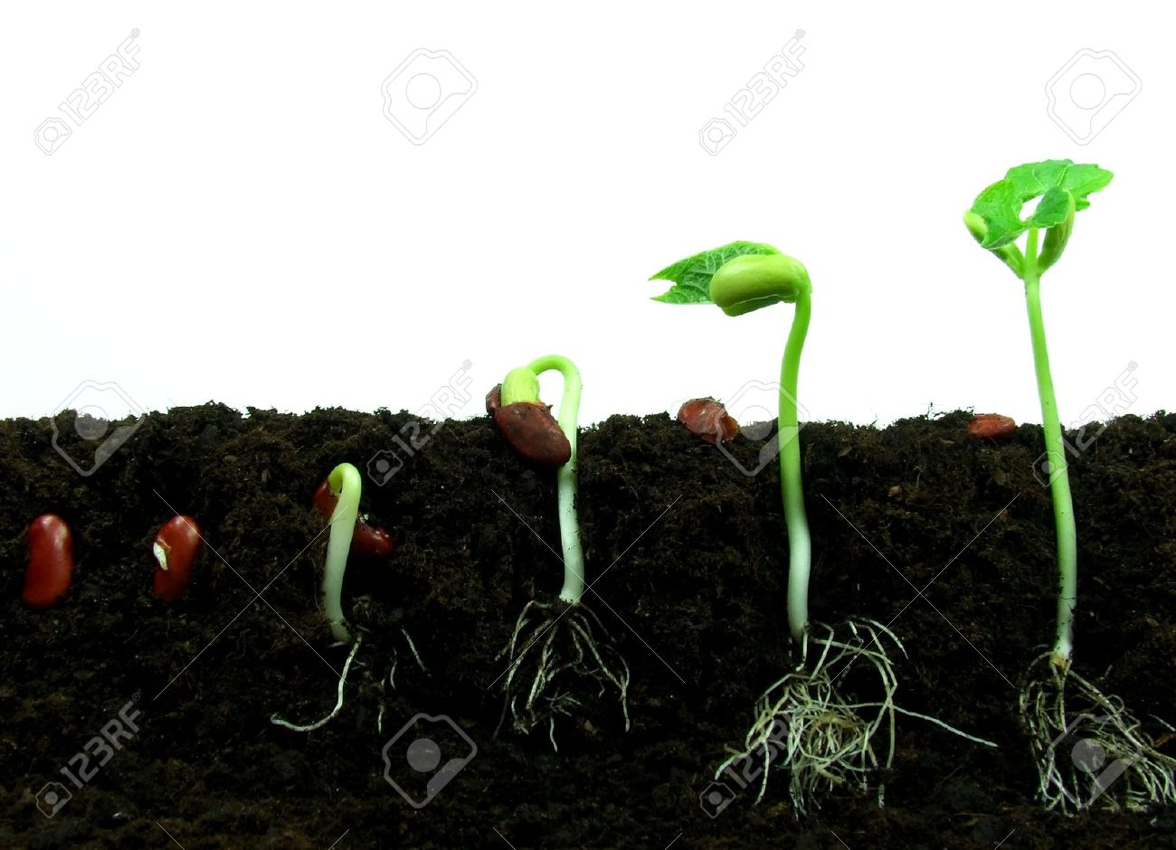 Germination Of Bean Seeds In Sequence Stock Photo, Picture And ...