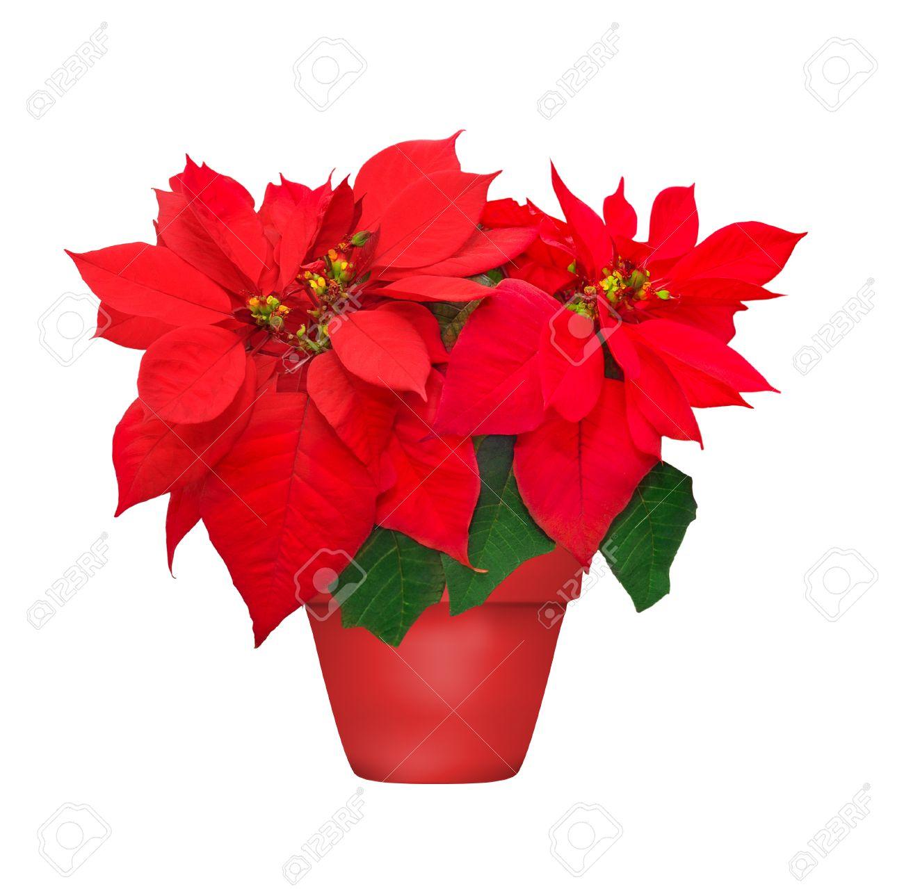 Magnifique poinsettia en pot de fleurs. fleur de Noël rouge sur fond blanc