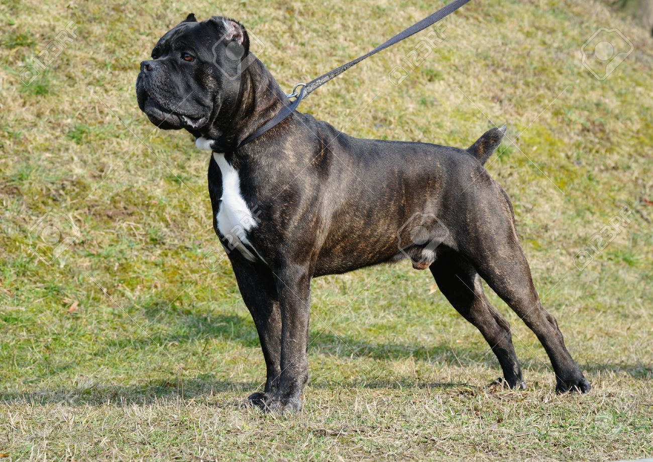 Dog Cane Corso Italian Outdoor Stock Photo Picture And Royalty Free