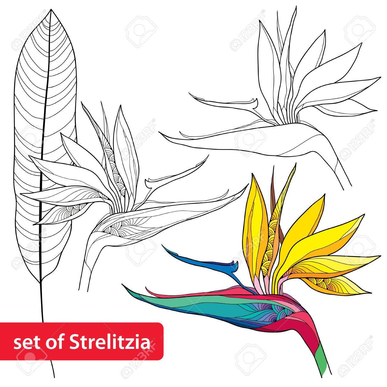 Set of strelitzia reginae or bird of paradise flower and leaf set of strelitzia reginae or bird of paradise flower and leaf isolated on white background buycottarizona