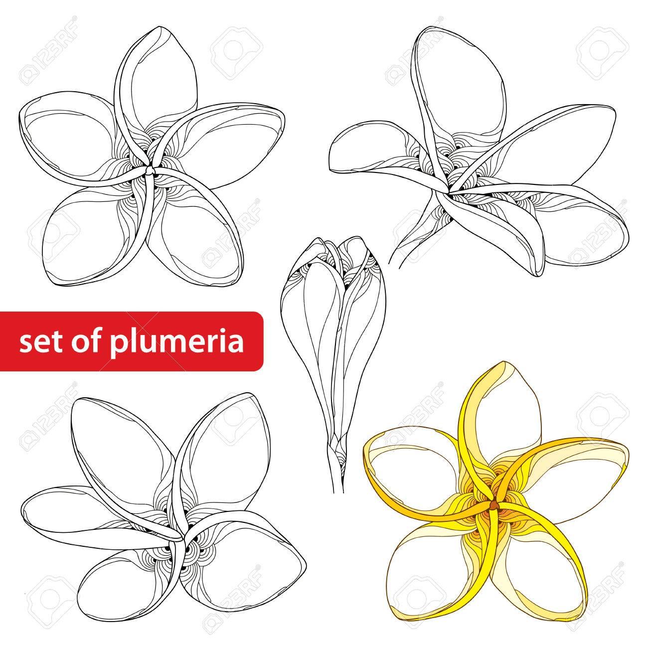 Serti De Plumeria Fleuri Ou Une Fleur De Frangipanier Et Le Bourgeon