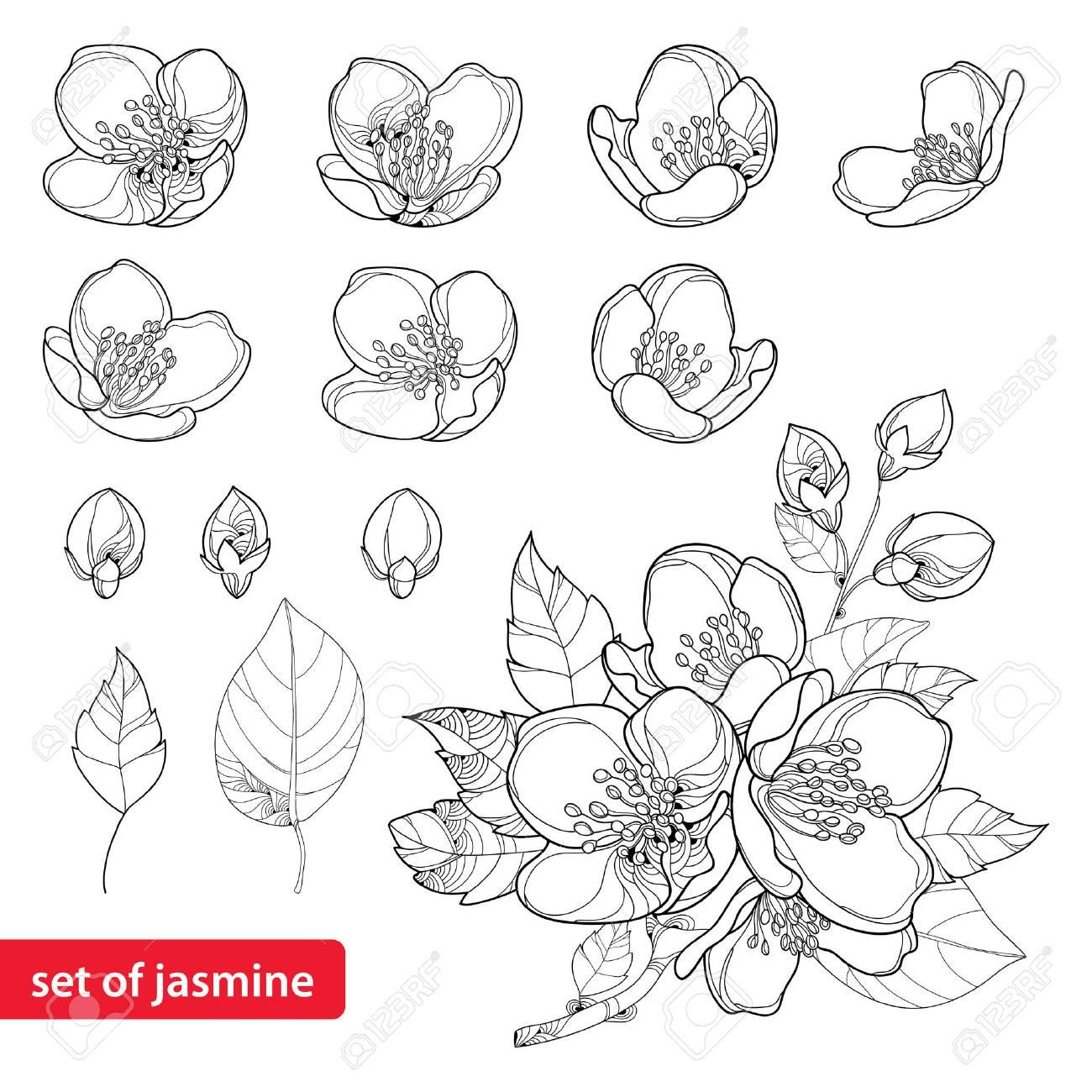 Conjunto Con Flores De Jazmín Contorno, Brote Y Hojas En Negro ...