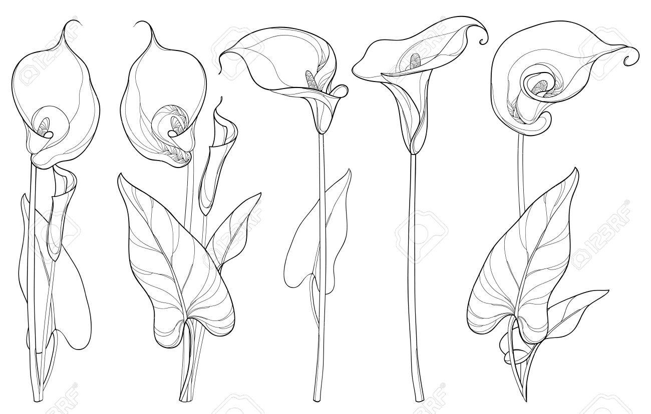 Set With Calla Lily Flower Or Zantedeschia Bud And Leaves In
