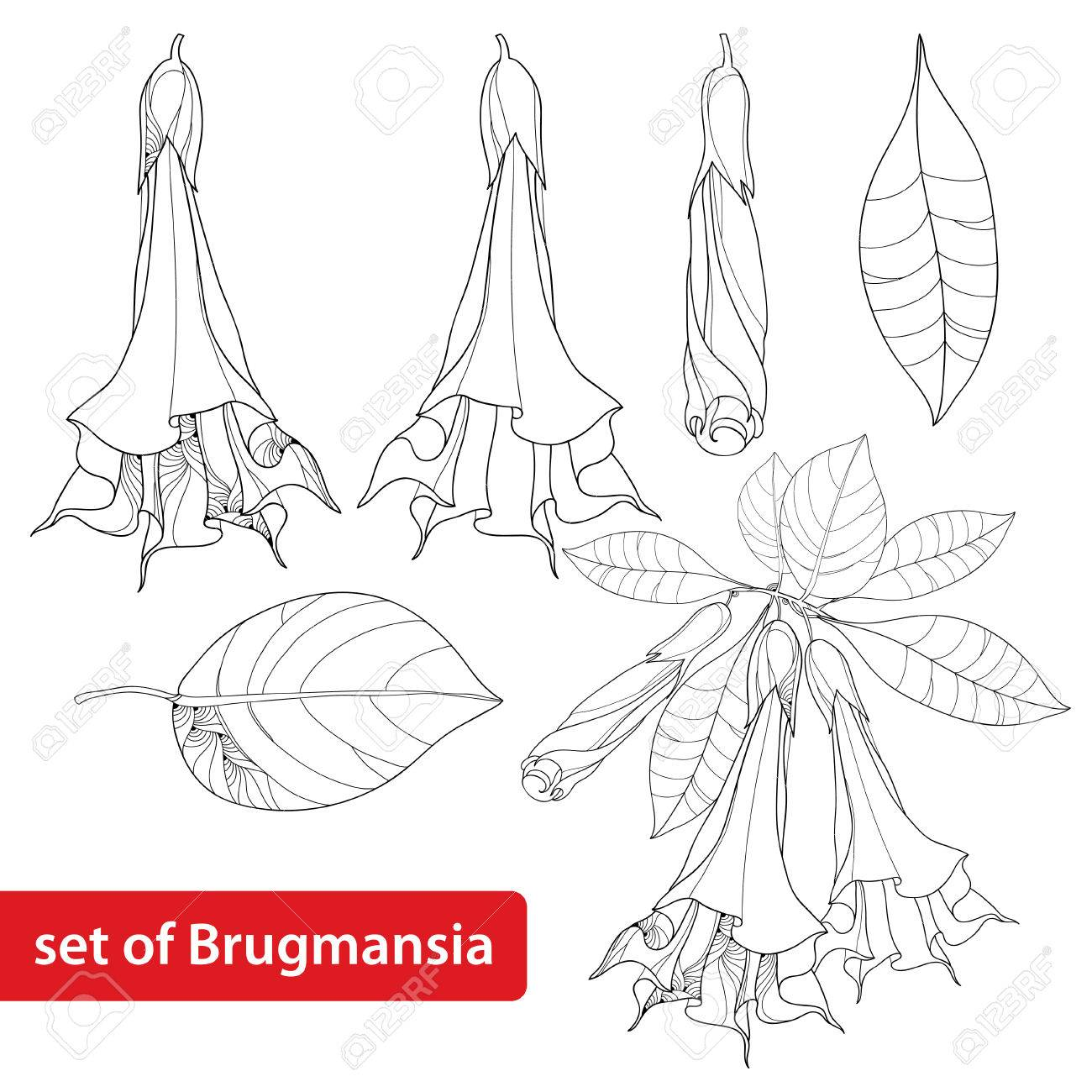 キダチチョウセンアサガオ属アルボレーア天使のトランペット花芽や葉