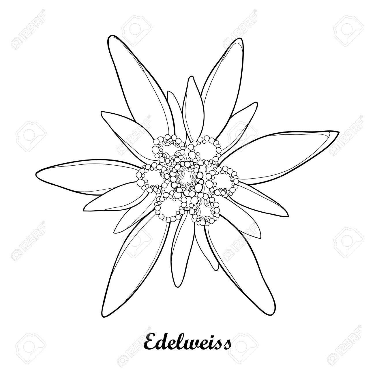 Coloriage Fleur Edelweiss.Illustration Avec Le Contour Edelweiss Ou Leontopodium Alpinum Isole