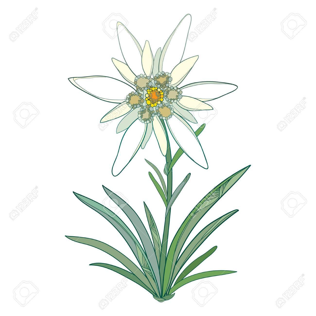Coloriage Fleur Edelweiss.Edelweiss Orne Ou Leontopodium Alpinum Floraison Fleur Et Feuilles