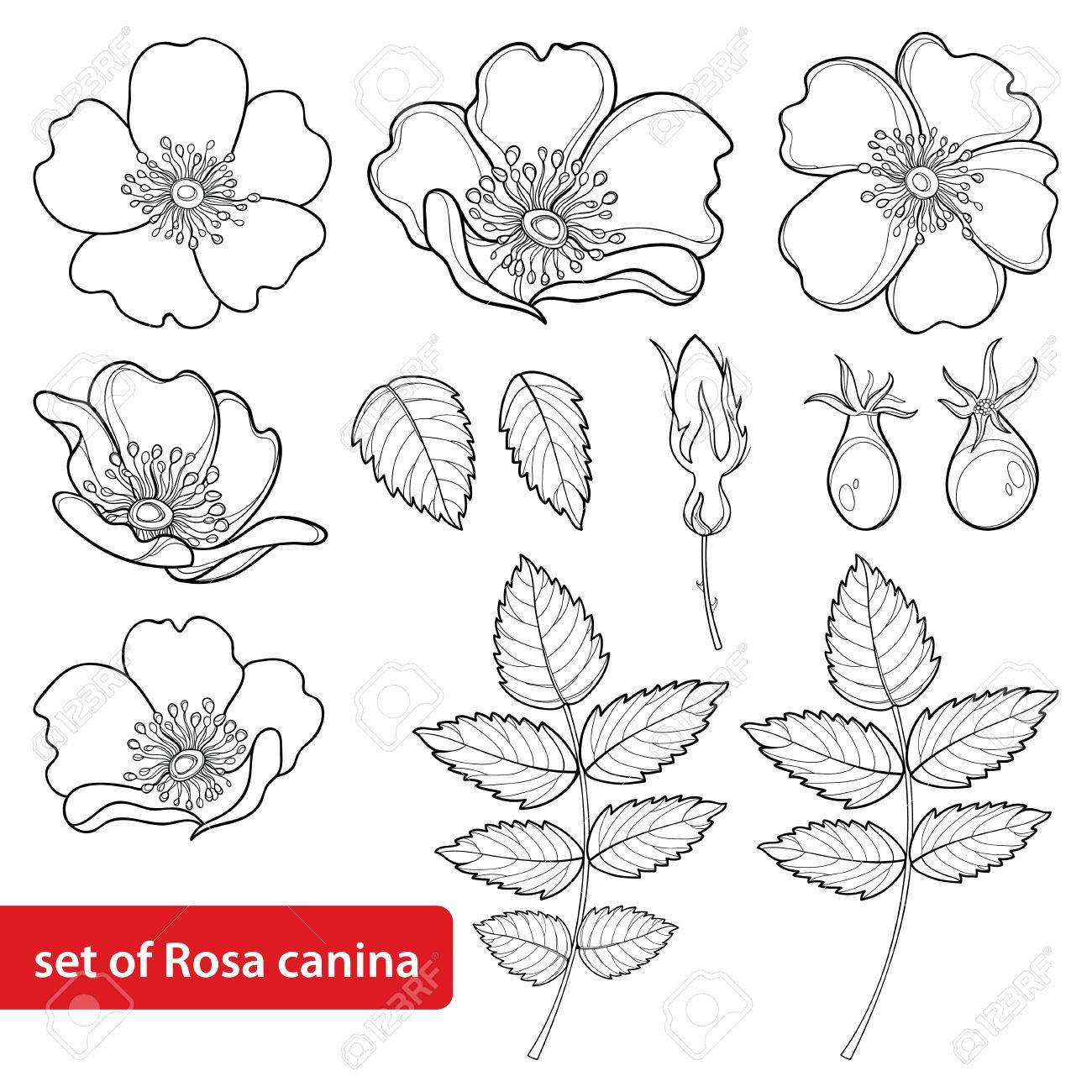 Dog Rose Drawing