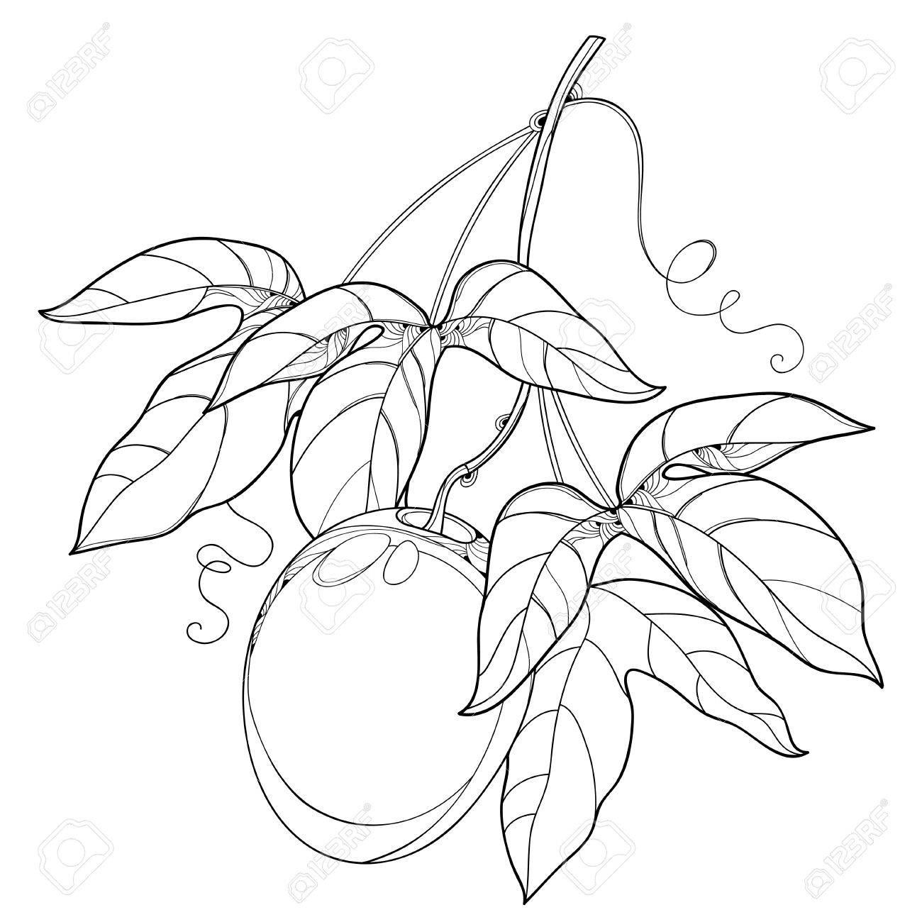 Rama Con Contorno Fruta De Maracuya O Frutas De Pasion Y Aislados