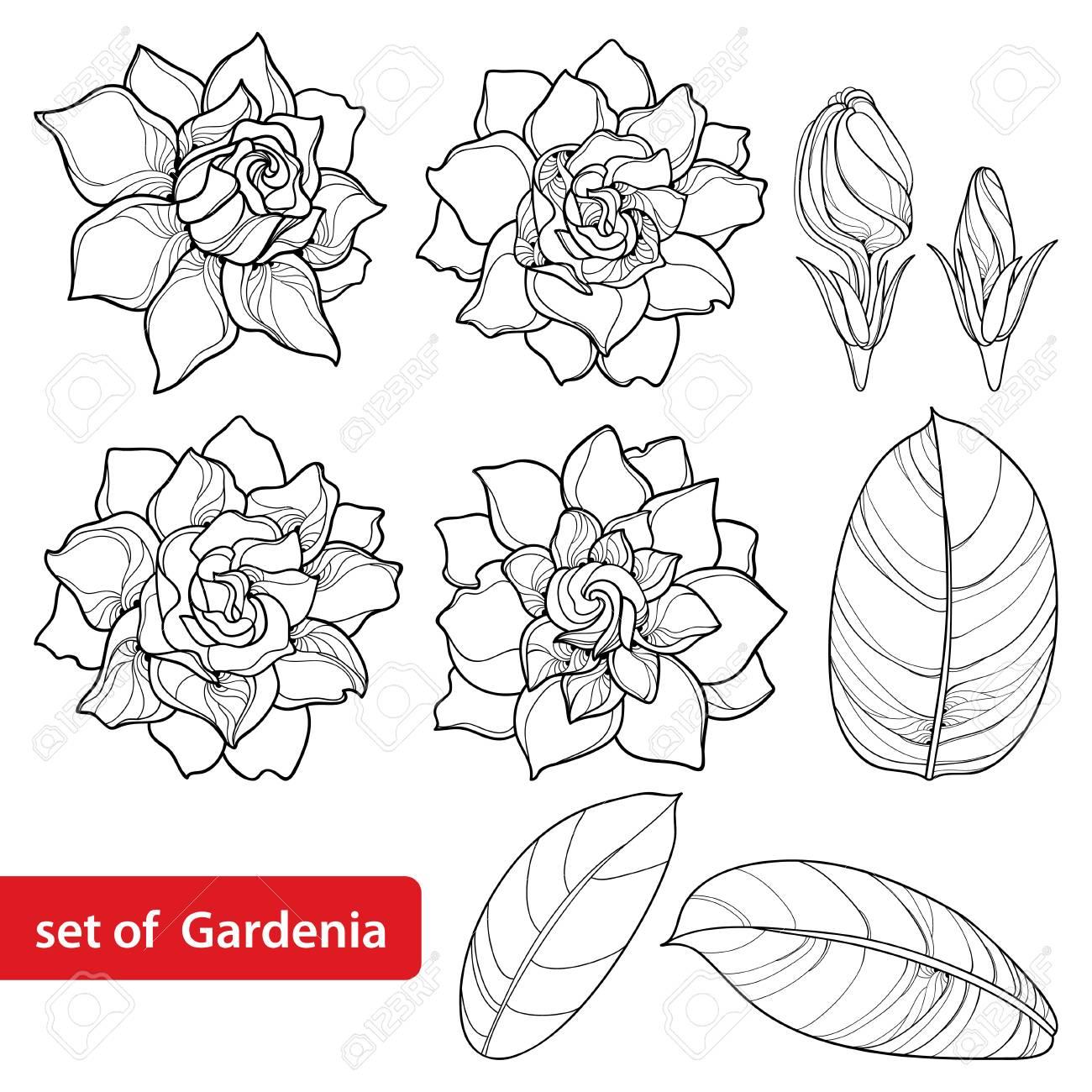 Gardenias In 2020 Gardenia Tattoo Flower Drawing Gardenia