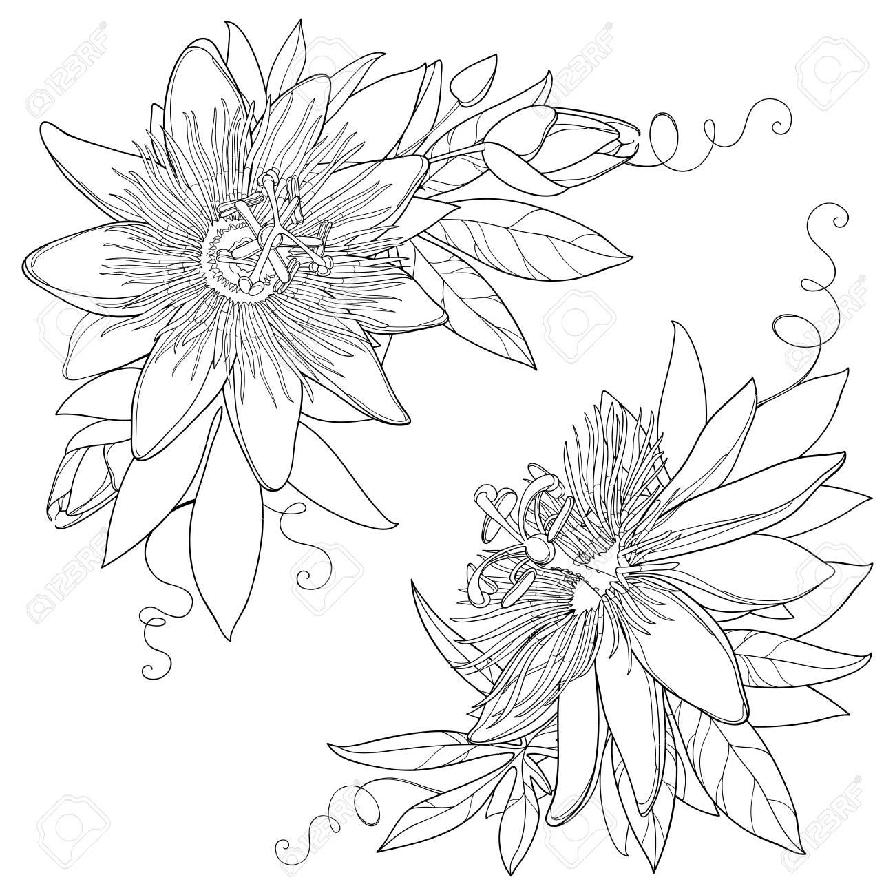 Bouquet à Contour Tropical Passiflora Ou Fleur De La Passion Fleurs Ornées Exotiques Bourgeon Et Feuille En Noir Isolé Sur Fond Blanc Flore De