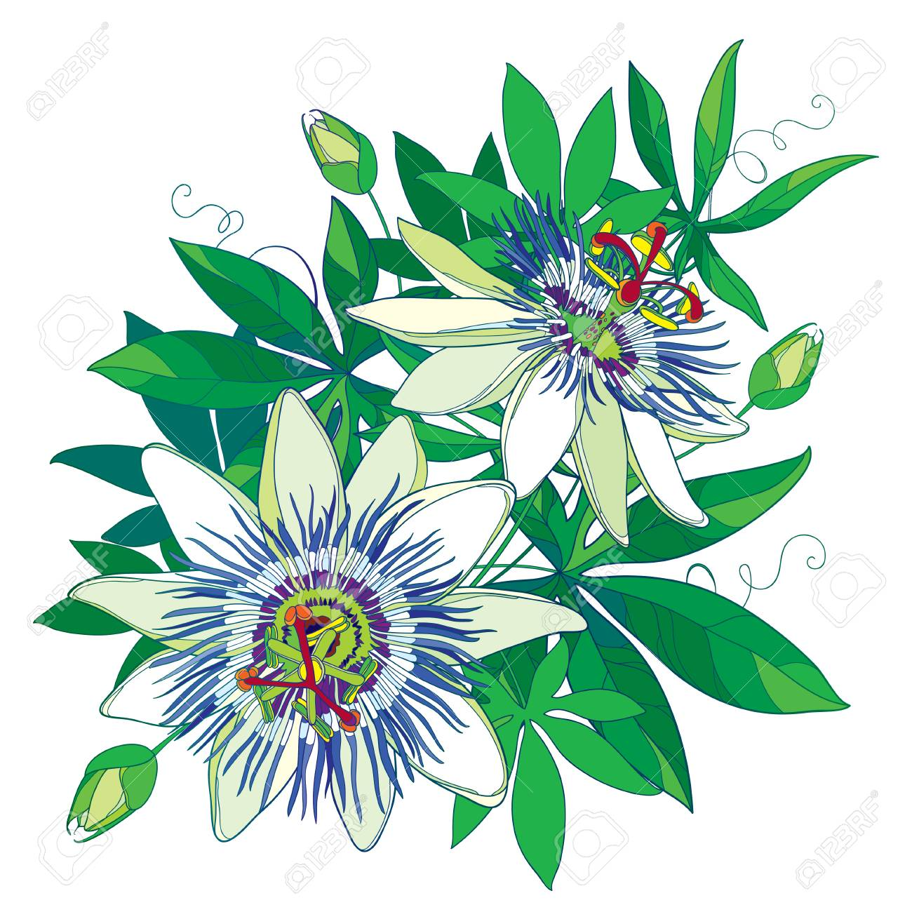 Bouquet Of Tropical Blue Passiflora Or Passion Flower Outline
