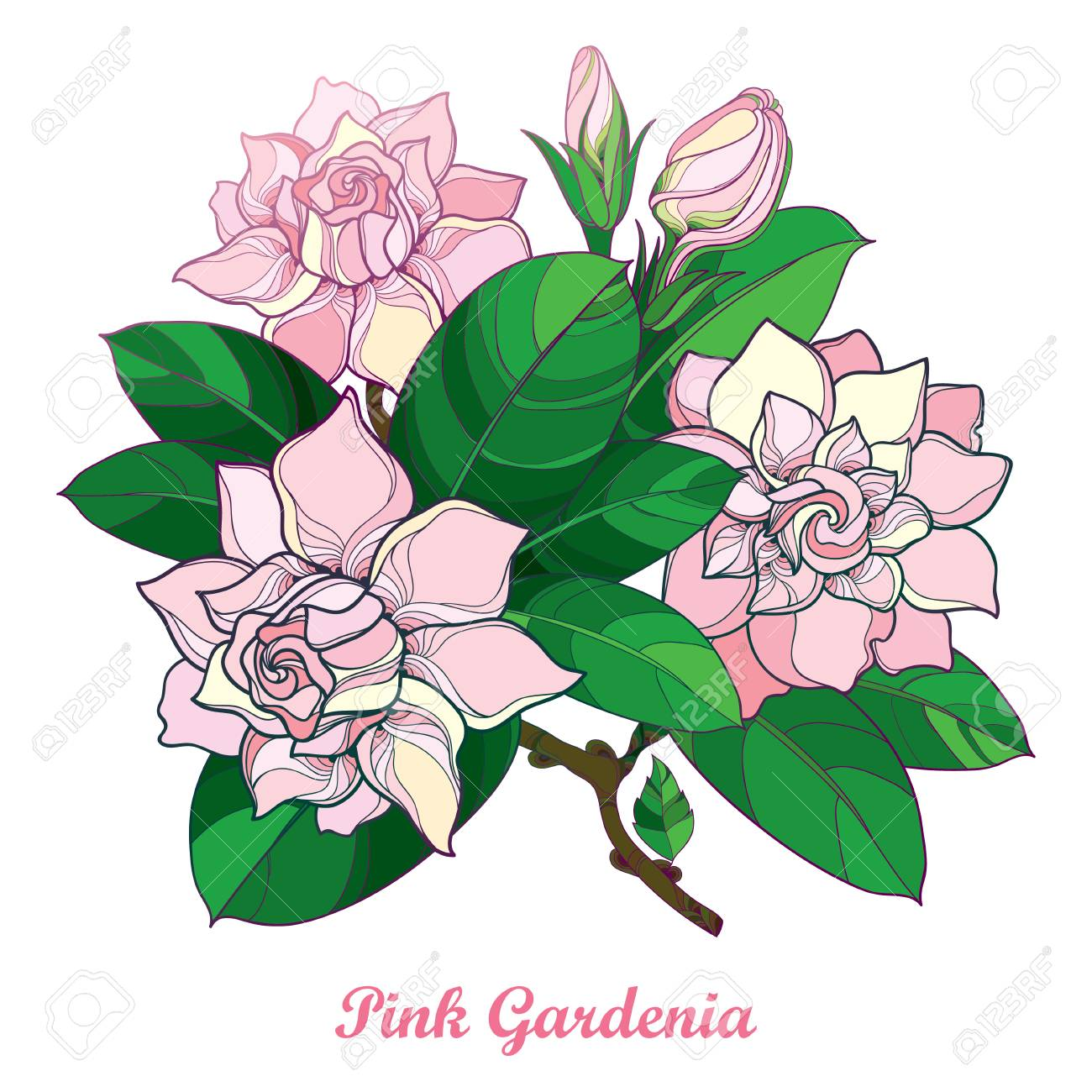 Outline Of Pink Gardenia Flower Bouquet, Bud And Ornate Green ...