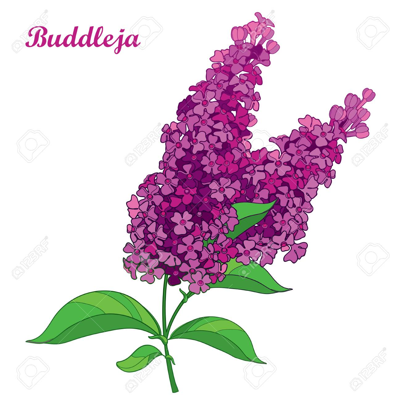 Branch with outline pink Buddleja or butterfly bush flower bunch and ornate leaf isolated on white background. Blooming plant Buddleja in contour style for summer design. - 106222364