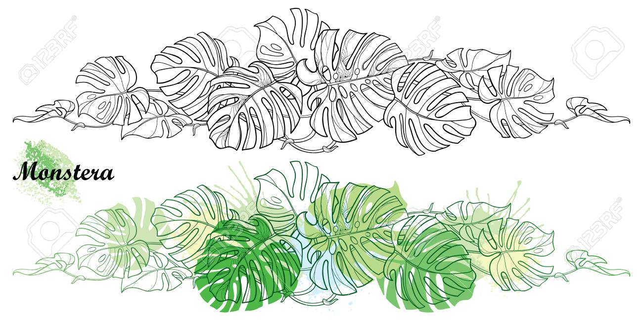 Monstera horizontal vine in contour for jungle coloring book.